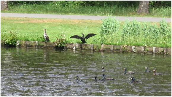 10 Cormorants at GBP