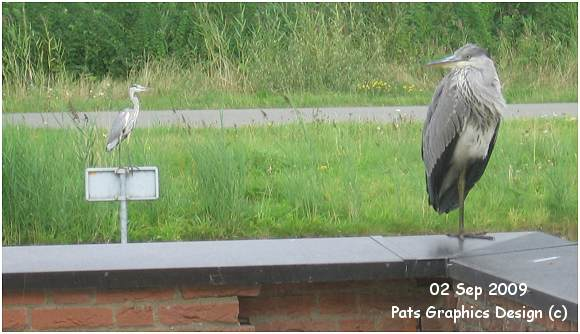 Grey Heron / Blauwe Reiger - 02 Sep 2009