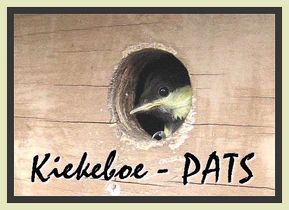 Great Tit / Koolmees in nest box - 2006