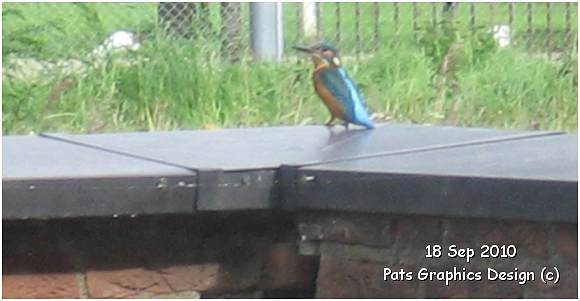 Kingfisher / IJsvogel - 18 Sep 2010