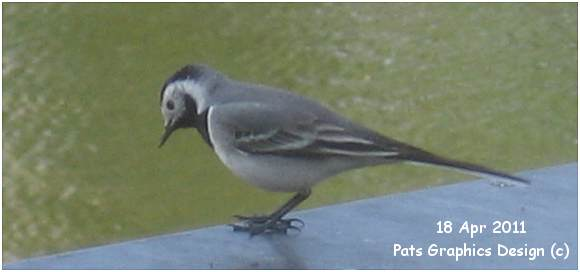 White Wagtail - Witte Kwikstaart - 18 Apr 2011